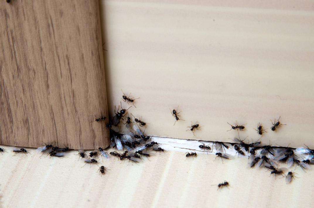 E Eliminare Le Formiche In Casa